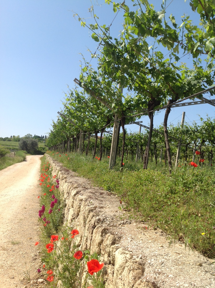 Vineyards at Monte Dall Ora