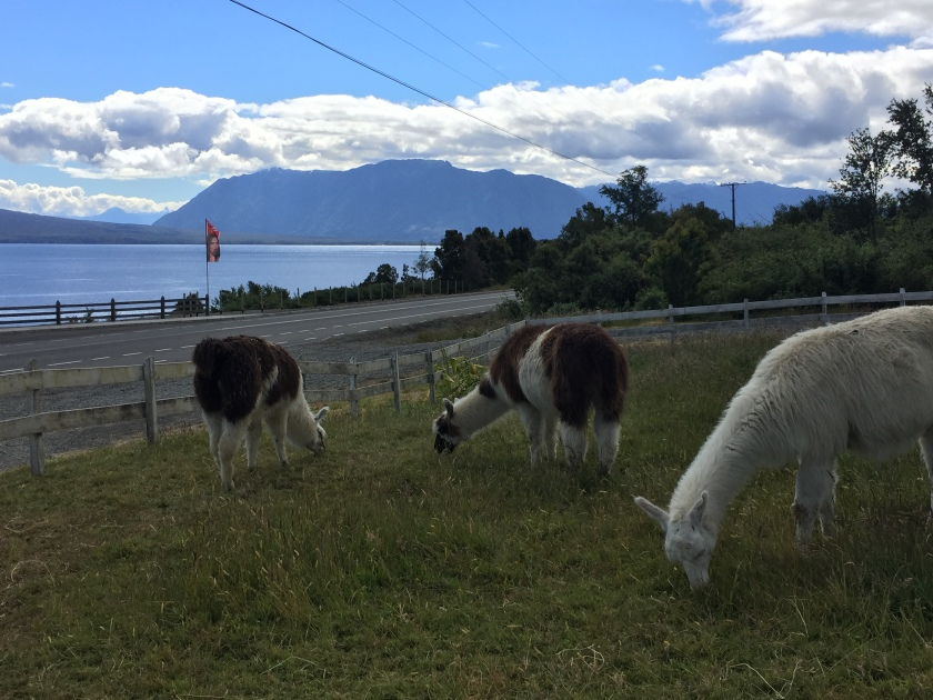 Llamas grazing with volcano in background